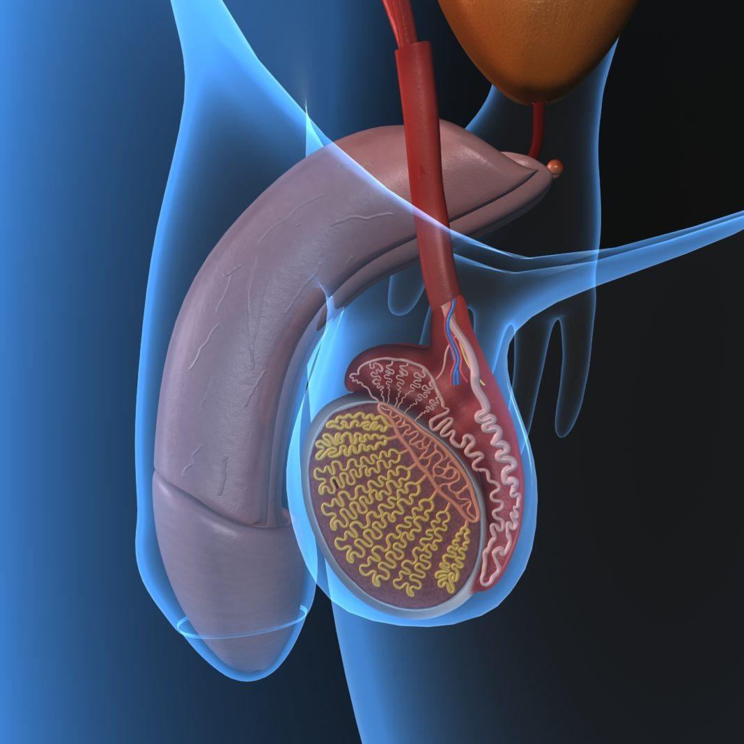 органы мужской репродукции
