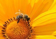 Подмор пчелами: эффективное средство в борьбе с простатитом
