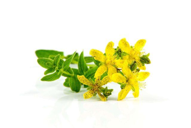 В настоящее время это растение отнесено к категории мощных афродизиаков