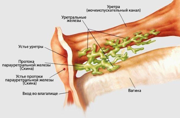Расположение железы Скина