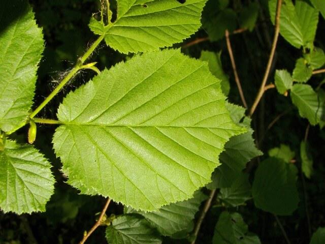 Лешина (фундук) лекарственное растение