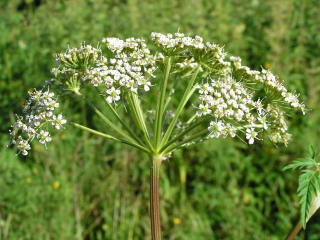 Экстракт этого растения отличается противоопухолевыми и противовоспалительными свойствами